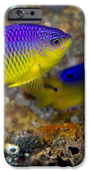 A Pair Of Juvenile Cocoa Damselfish iPhone Case by Michael Wood