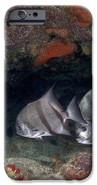 A School Of Atlantic Spadefish iPhone Case by Terry Moore