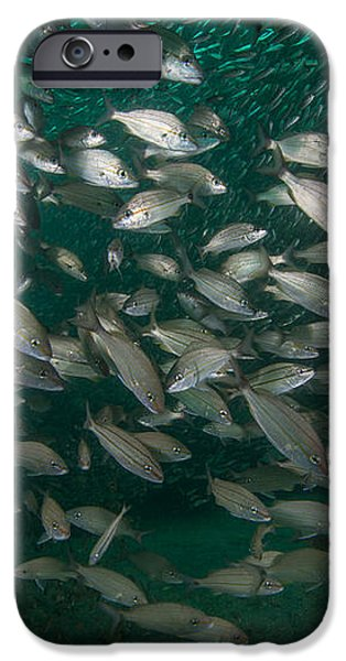 A School Of Tomtate And Glass Minnows iPhone Case by Michael Wood