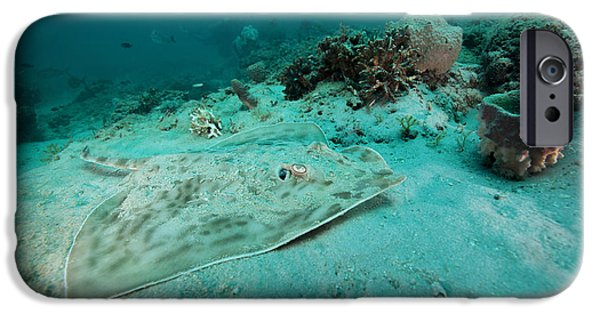 Panama City Beach iPhone Cases - A Southern Stingray On The Sandy Bottom iPhone Case by Michael Wood