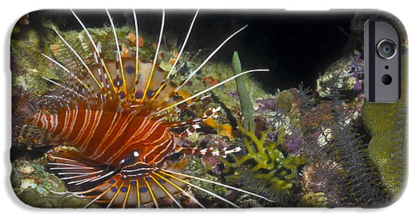 Aquatic Display iPhone Cases - A Spotfin Lionfish Flares Its Dorsel iPhone Case by Michael Wood