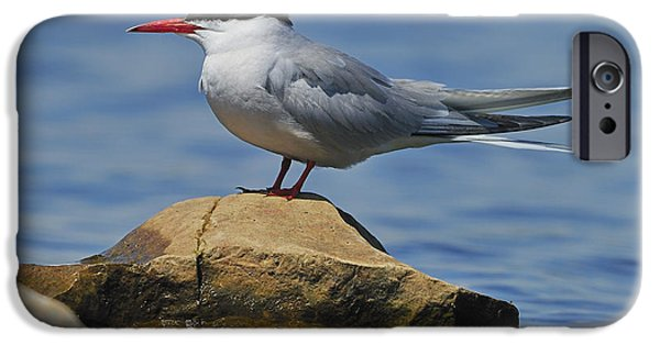 Hirundo iPhone Cases - Adult Common Tern iPhone Case by Tony Beck