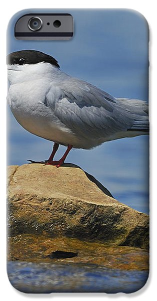 Adult Common Tern iPhone Case by Tony Beck