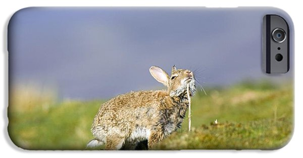 Chin Up Photographs iPhone Cases - Adult Rabbit Marking Scent iPhone Case by Duncan Shaw