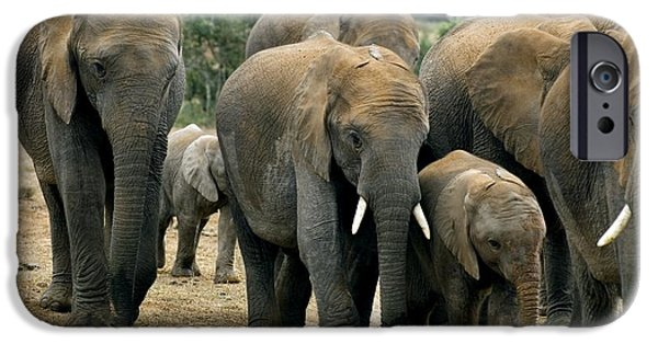 Addo iPhone Cases - African Bush Elephants iPhone Case by Peter Chadwick