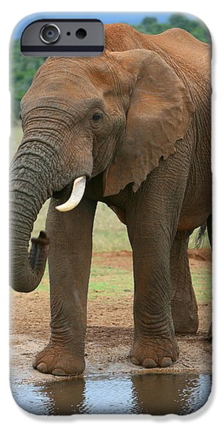 Addo iPhone Cases - African Elephant iPhone Case by Bruce J Robinson