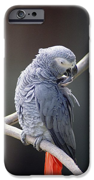 Animalsandearth iPhone Cases - African Grey Parrot Psittacus Erithacus iPhone Case by Gerry Ellis