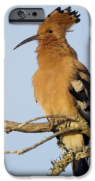 Addo iPhone Cases - African Hoopoe iPhone Case by Peter Chadwick