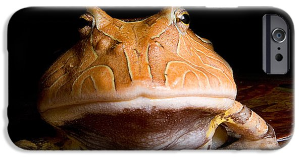 Anuran iPhone Cases - Amazonian Horned Frog iPhone Case by Danté Fenolio