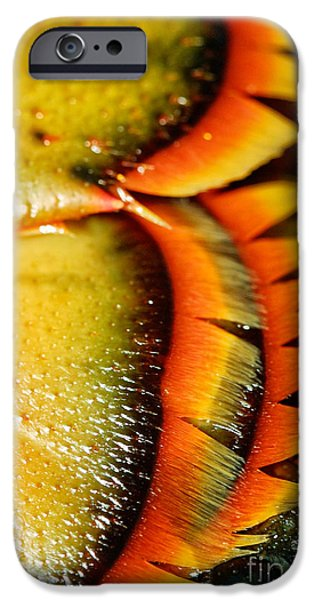 Chatham iPhone Cases - American Lobster closeup in Chatham on Cape Cod iPhone Case by Matt Suess
