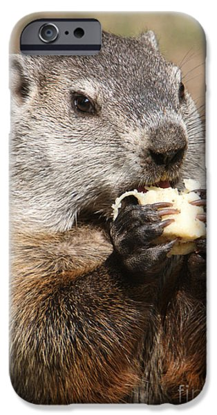 Groundhog iPhone Cases - Animal - woodchuck - eating iPhone Case by Paul Ward