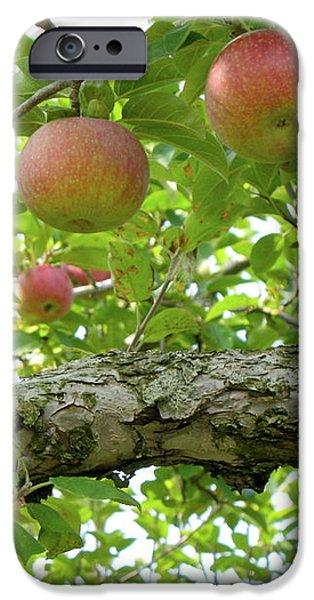 Apple Pickers Dream iPhone Case by Lynn-Marie Gildersleeve