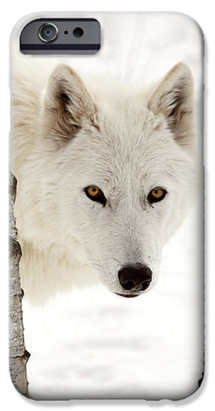 Arctic iPhone Cases - Arctic Wolf seen between two trees in winter iPhone Case by Mark Duffy