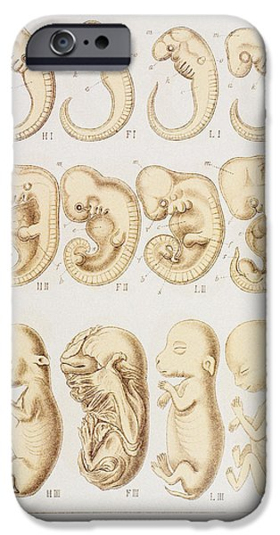 Wildlife Imagery iPhone Cases - Artwork Of Embryonic Development, 1891 iPhone Case by Mehau Kulyk