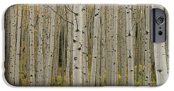 Autumn iPhone Cases - Aspen Grove In Fall, Kebler Pass iPhone Case by Ron Watts
