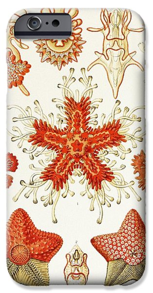 Art Forms Of Nature iPhone Cases - Asteroidea Organisms, Artwork iPhone Case by Mehau Kulyk