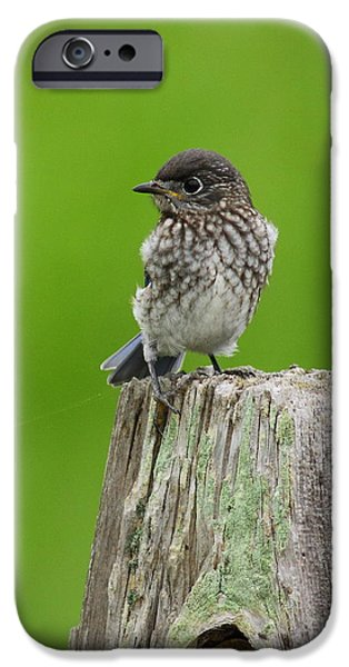 Baby Bird iPhone Cases - Baby Bluebird On Post iPhone Case by Robert Frederick