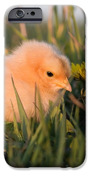 Baby Chick in Green Grass iPhone Case by Cindy Singleton