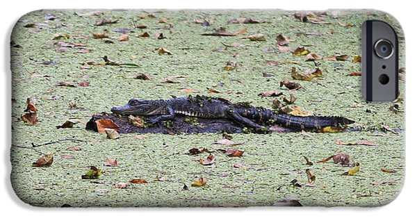 Florida Gators iPhone Cases - Baby Gator in the Swamp iPhone Case by Carol Groenen
