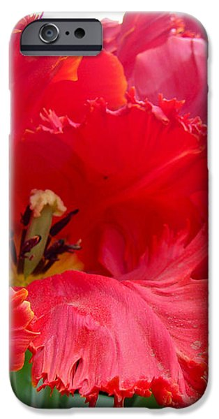 Beautiful From Inside and Out - Parrot Tulips in Philadelphia iPhone Case by Mother Nature