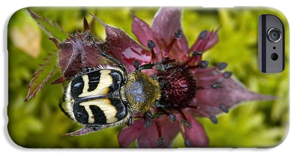 Eating Entomology iPhone Cases - Bee Beetle Feeding On A Flower iPhone Case by Bob Gibbons