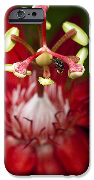 Bee collecting pollen on a Passiflora flower iPhone Case by Zoe Ferrie