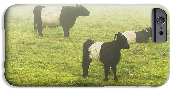 Meadow iPhone Cases - Belted Galloway Cows Grazing  In foggy Farm Field Maine iPhone Case by Keith Webber Jr