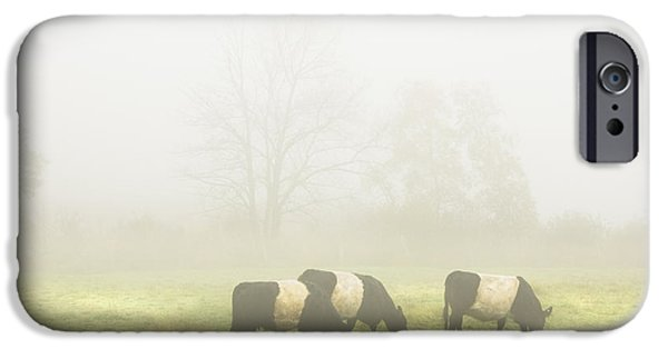 Fog Mist iPhone Cases - Belted Galloway Cows Grazing On foggy Farm Field Maine iPhone Case by Keith Webber Jr