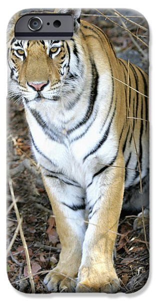 The Tiger iPhone Cases - Bengal Tiger In Pench National Park iPhone Case by Axiom Photographic