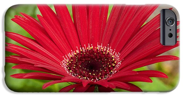 Zinnias iPhone Cases - Big Red Zinnia iPhone Case by Rich Franco