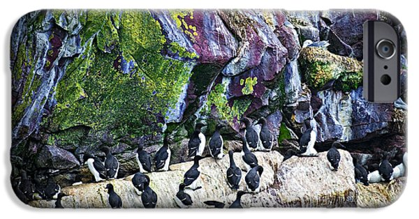 Razorbill iPhone Cases - Birds at Cape St. Marys Bird Sanctuary in Newfoundland iPhone Case by Elena Elisseeva