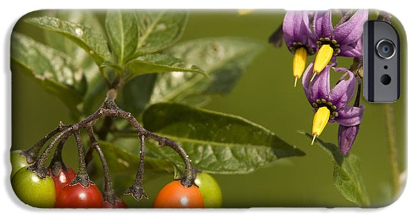 Bittersweet iPhone Cases - Bittersweet (solanum Dulcamara) iPhone Case by Bob Gibbons