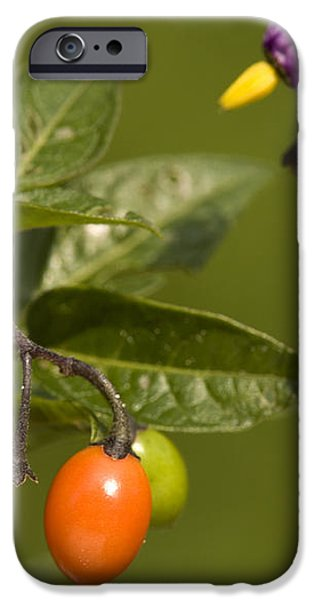 Bittersweet (solanum Dulcamara) iPhone Case by Bob Gibbons