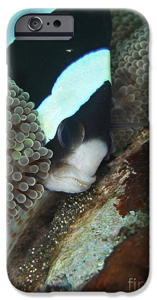 Amphiprion Clarkii iPhone Cases - Black And White Anemone Fish Looking iPhone Case by Mathieu Meur