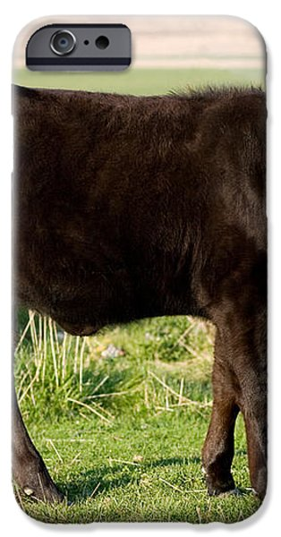 Black Angus Calf in Green Grassy Pasture iPhone Case by Cindy Singleton