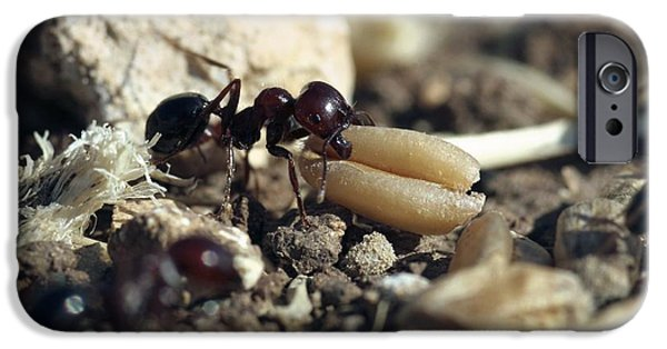 Eating Entomology iPhone Cases - Black Ant Carrying Grain Seed iPhone Case by Photostock-israel