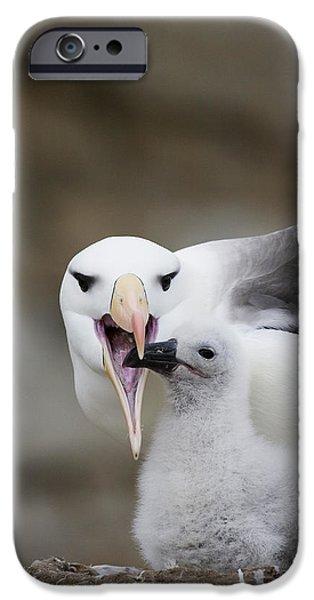 Black Browed Albatross Preparing iPhone Case by Suzi Eszterhas