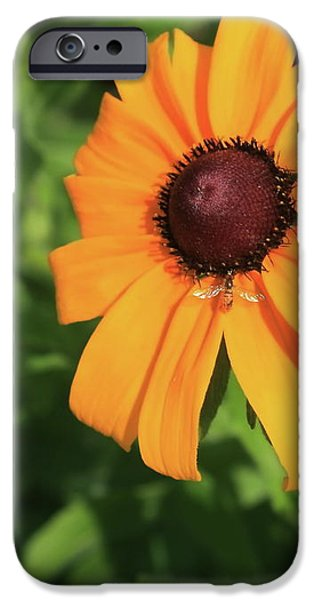 Black Eyed Susan 2 iPhone Case by Marjorie Imbeau