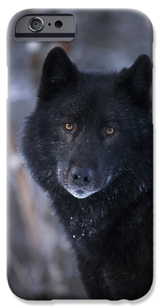 Inside Passage iPhone Cases - Black Wolf Portrait iPhone Case by John Hyde - Printscapes