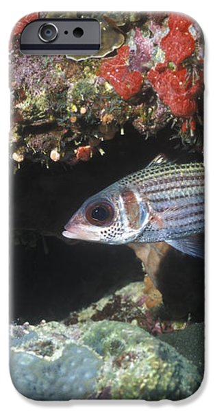 Blackfin Squirrelfish Swimming iPhone Case by Michael Wood