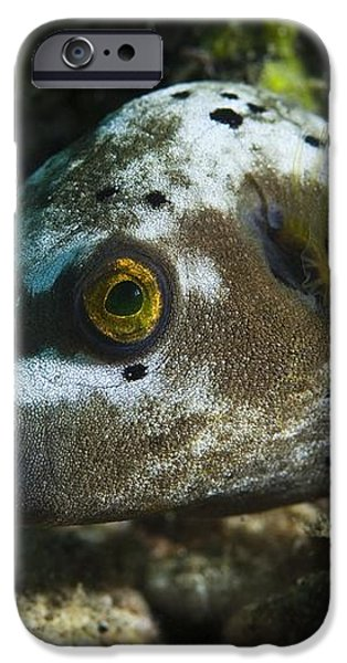 Blackspotted Puffer iPhone Case by Matthew Oldfield