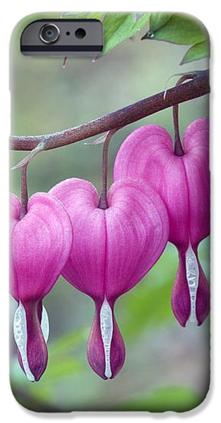 Bleeding Heart iPhone Case by Gail Jankus and Photo Researchers