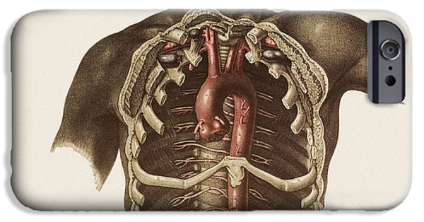 Sigmoid Colon iPhone Cases - Blood Vessels Of The Thorax And Abdomen iPhone Case by Mehau Kulyk