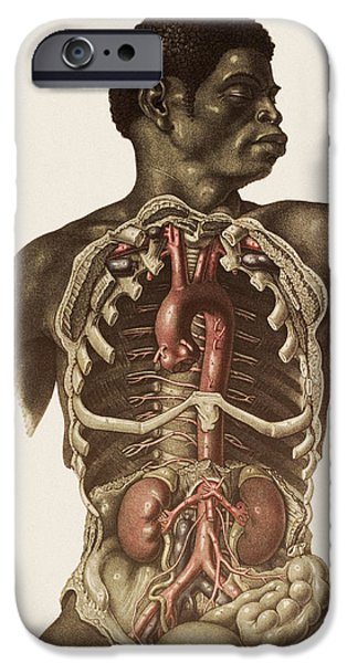 Blood Vessels Of The Thorax And Abdomen iPhone Case by Mehau Kulyk