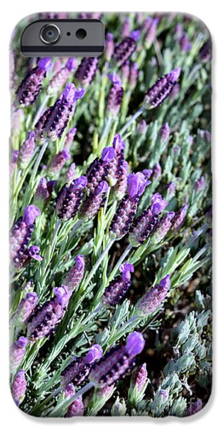 Purple And Green iPhone Cases - Blooming Lavender with Border iPhone Case by Carol Groenen