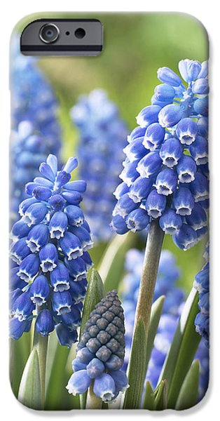 Blue Grapes Photographs iPhone Cases - Blue Grape Hyacinth Muscari Aucheri iPhone Case by VisionsPictures