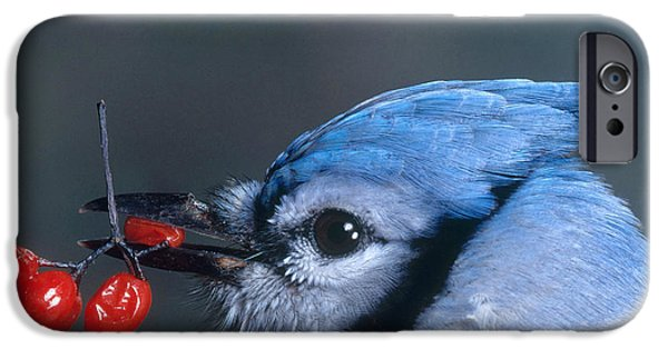 Bittersweet iPhone Cases - Blue Jay iPhone Case by Photo Researchers, Inc.