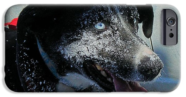 Sled Dog iPhone Cases - Blue ... iPhone Case by Juergen Weiss