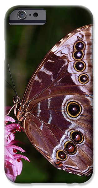 Floral Photographs iPhone Cases - Blue Morpho Butterfly On Flower iPhone Case by Natural Selection Ralph Curtin
