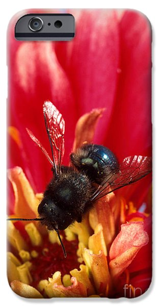 Blue Orchard Bee iPhone Case by Scott Bauer